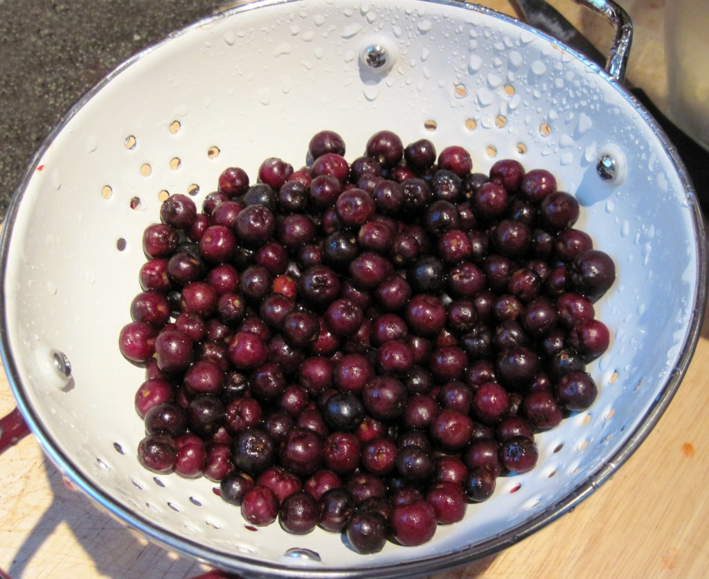 Colander full of dark red aronia berries