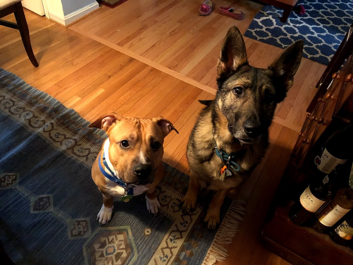 A red pitbull and a sable german shepherd dog sitting in a room looking attentively at the camera